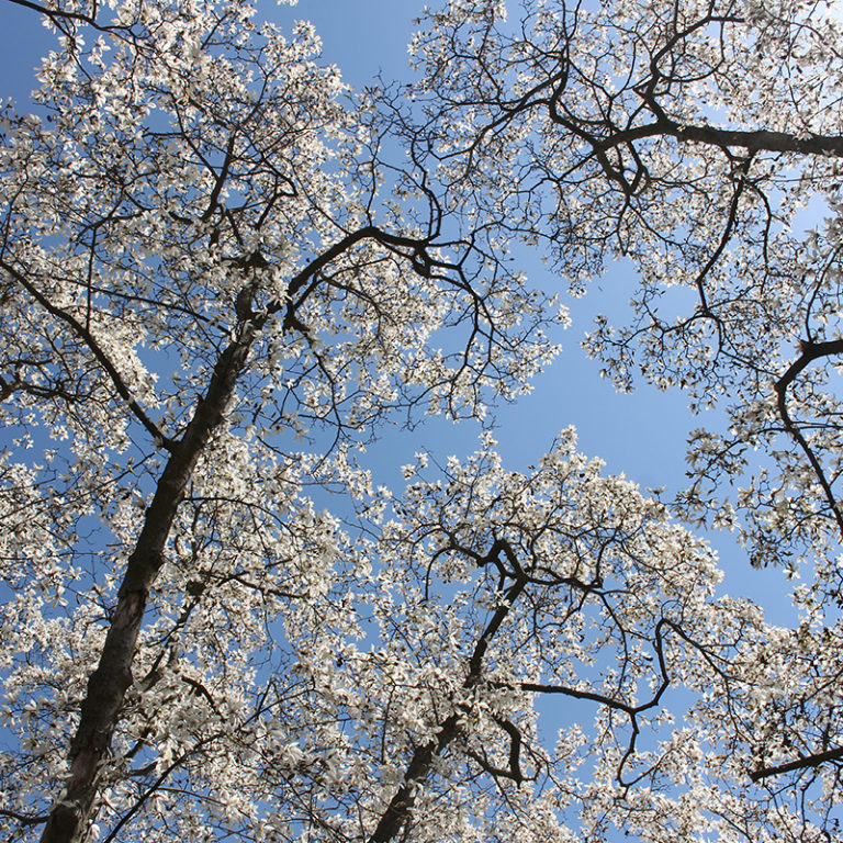 Looking Up At Magnolia Trees Blooming