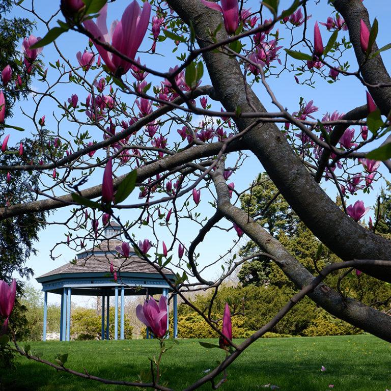 Magnolia Tree Starting To Bloom Beside Gazebo