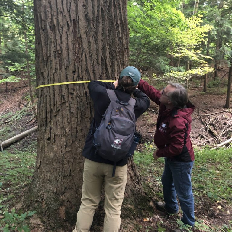 Measuring Large Trunk of Tulip Tree