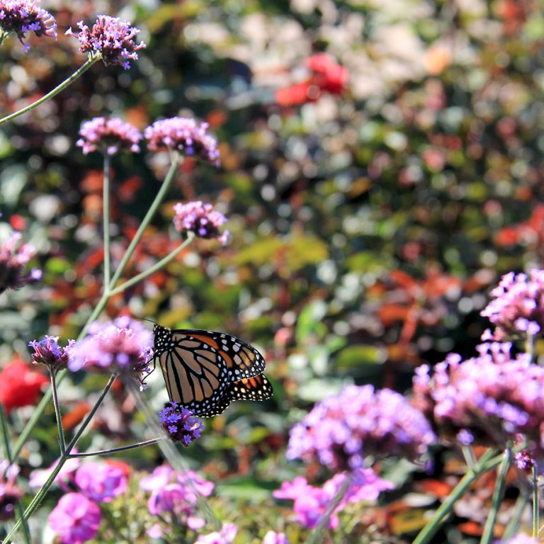 Monarch on verbena bloom in the rose garden