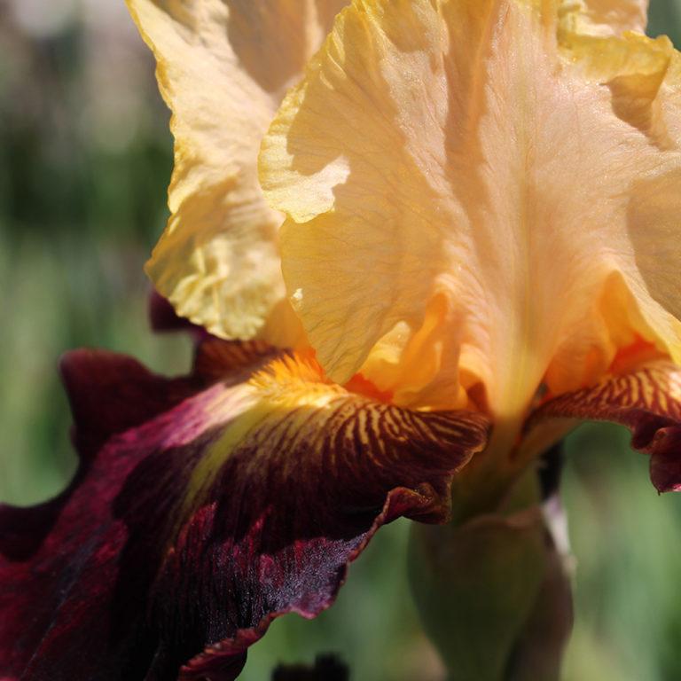 Orange And Maroon Iris Flower