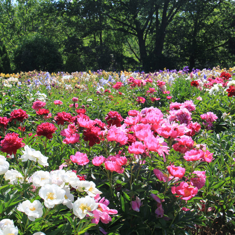 Peony Beds In Blooms With Iris Collection