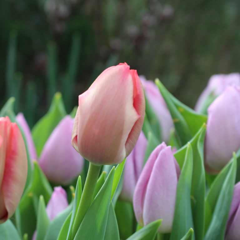 Pink And Purple Tulips