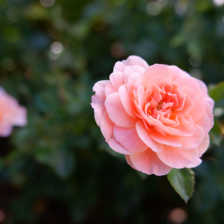 Pink Apricot Drift Rose