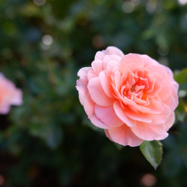 Pink Apricot Drift Rose