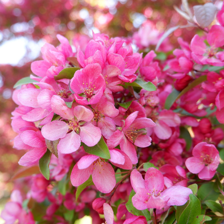 Pink Crabapple Blooms
