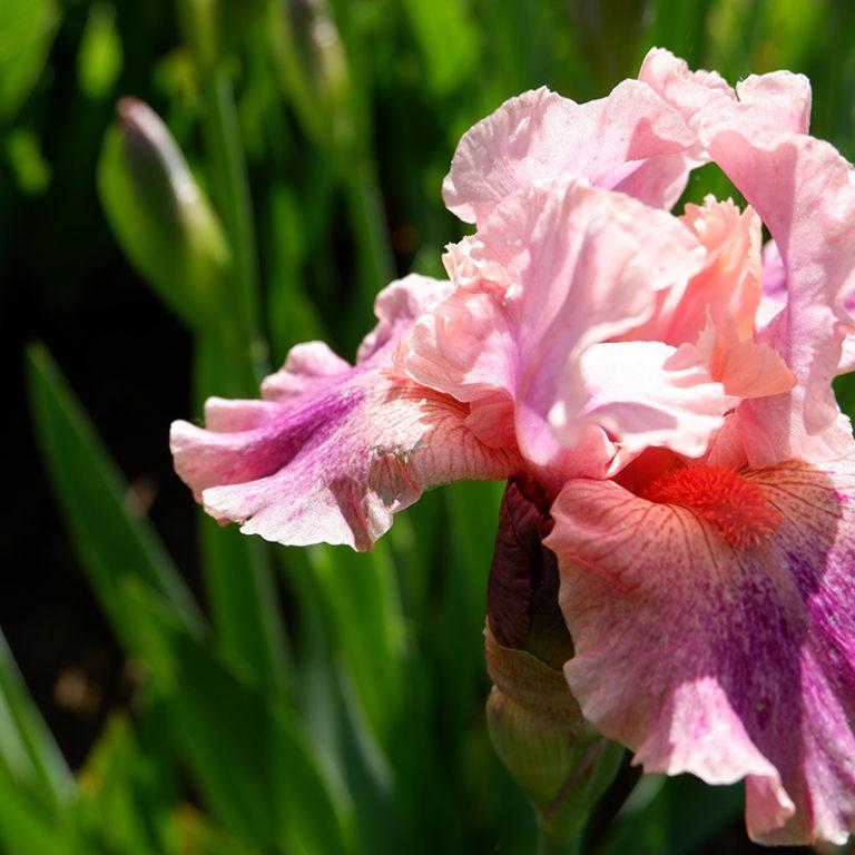 Pink Dwarf Iris Flower