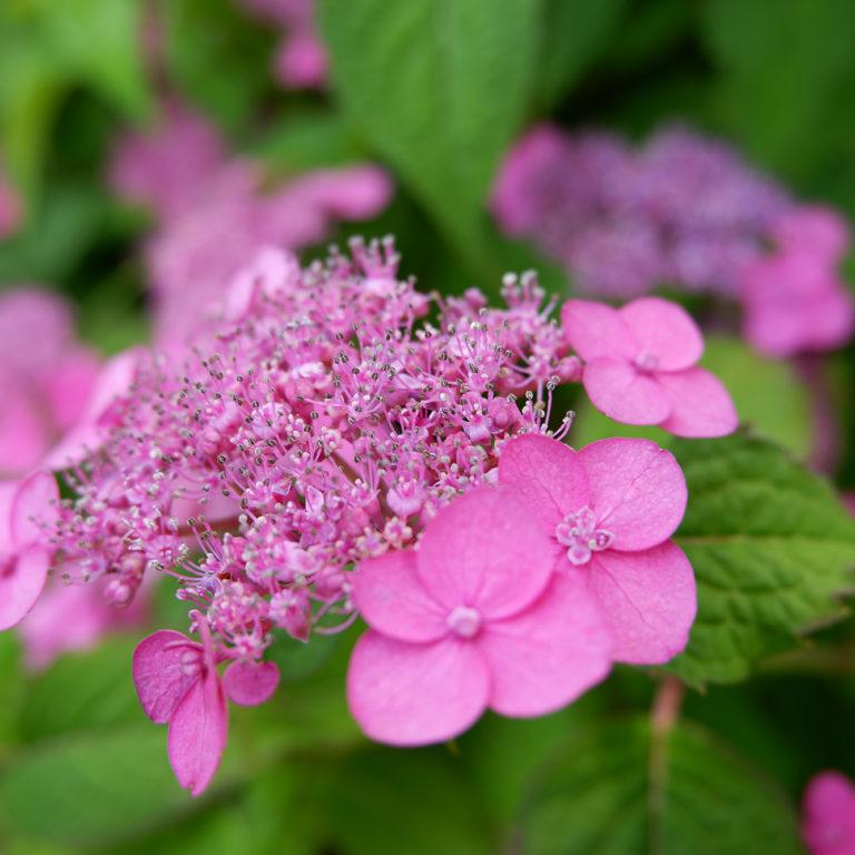 Pink Hydrangea Starting To Bloom