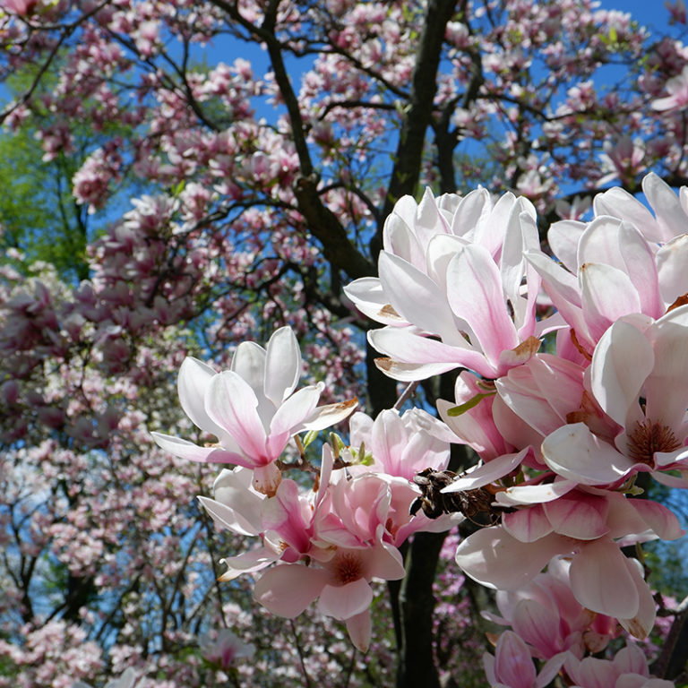 Pink Saucer Magnolia Blooms