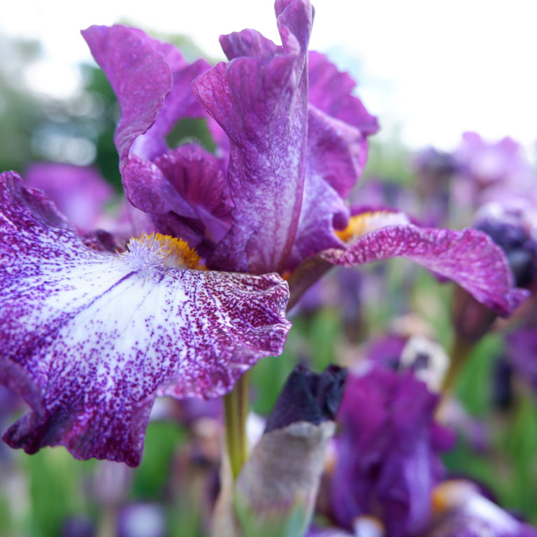 Purple And White Iris In Bloom