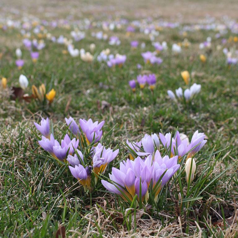 Purple Crocus Blooming On Lawn