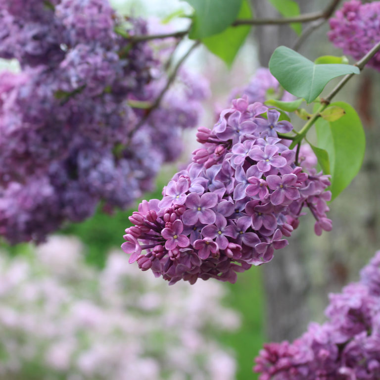 Purple Lilac Bunch In Bloom