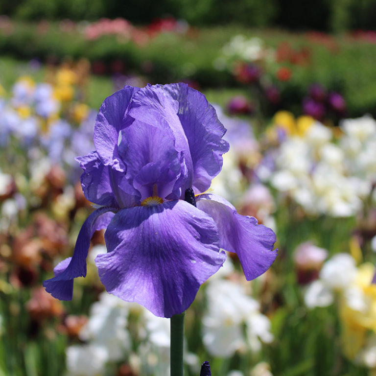 Purple Tall Iris With Bed Of Blooms