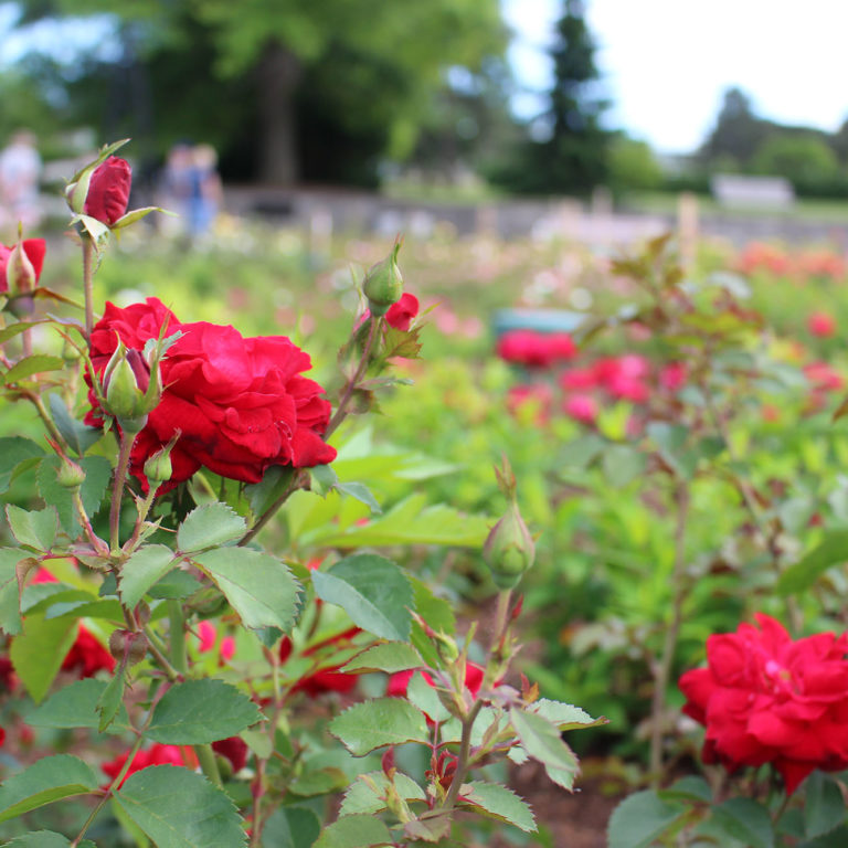 Red Canadian Shield Rose Vineland 49th Parallel Collection