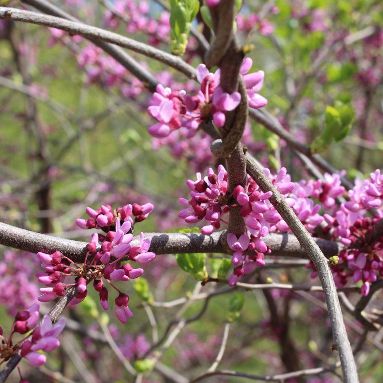 Redbud Blooms Starting On Branch