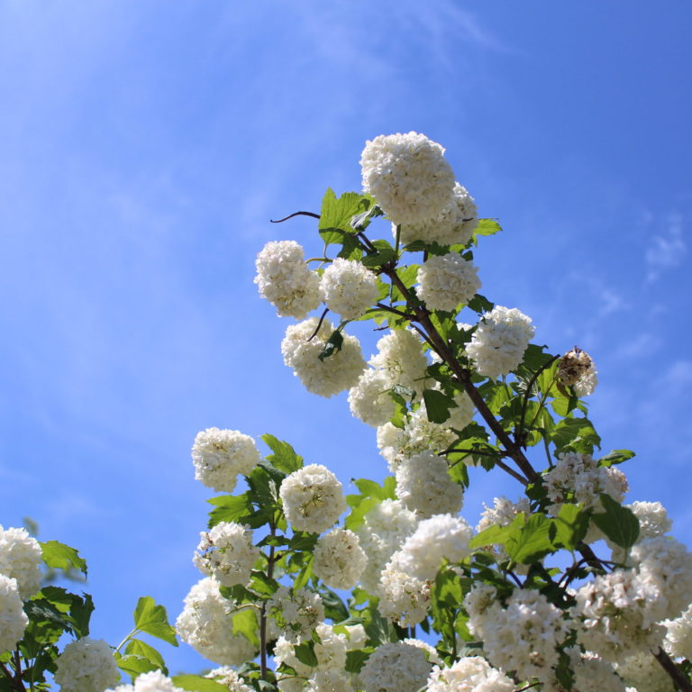 Snowball Blooms Against Blue Sky