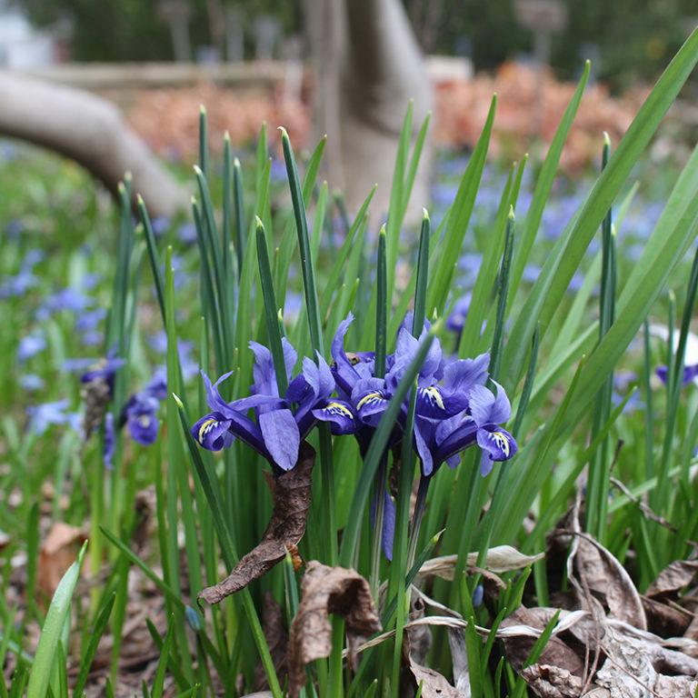Spring Iris Blooming
