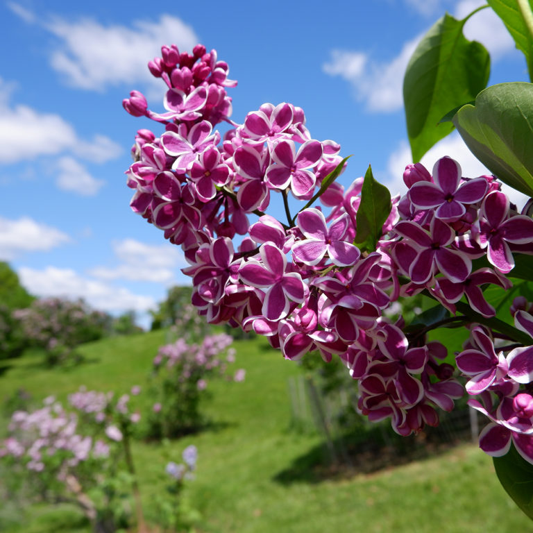 Two Tone Lilac Blooms