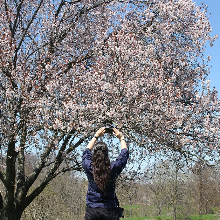 Visitor Taking Photo Of Cherry Trees In Bloom