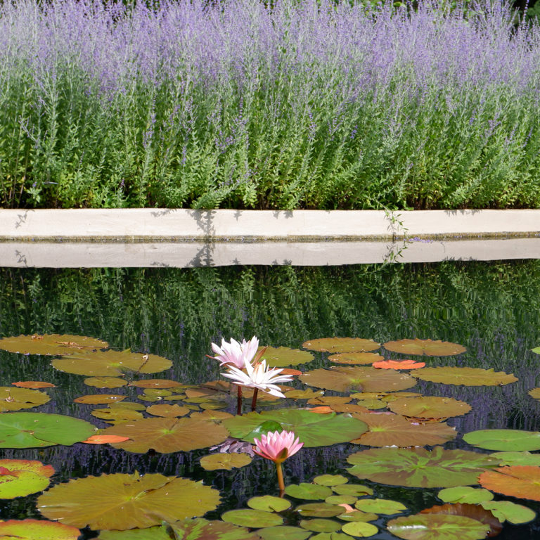 Waterlilies In Pond With Russian Sage On Shore