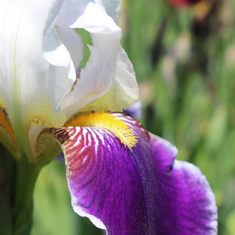 White And Purple Bearded Iris Flower