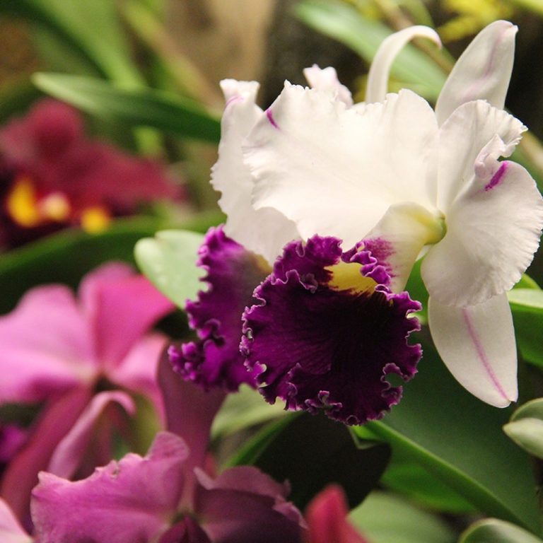 White And Purple Orchid