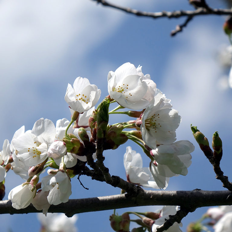 White Cherry Blossoms Against Sky