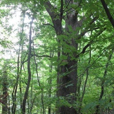 White Oak Tree in Forest