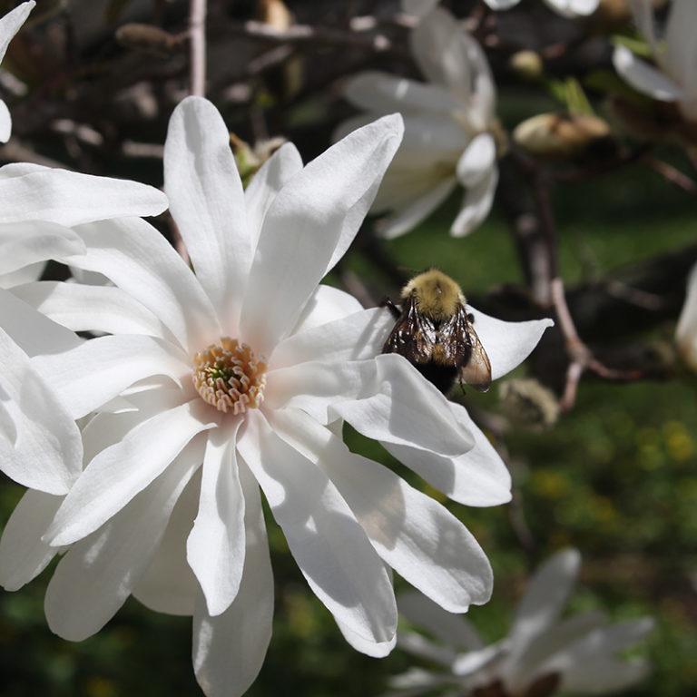 White Star Magnolia Blooms