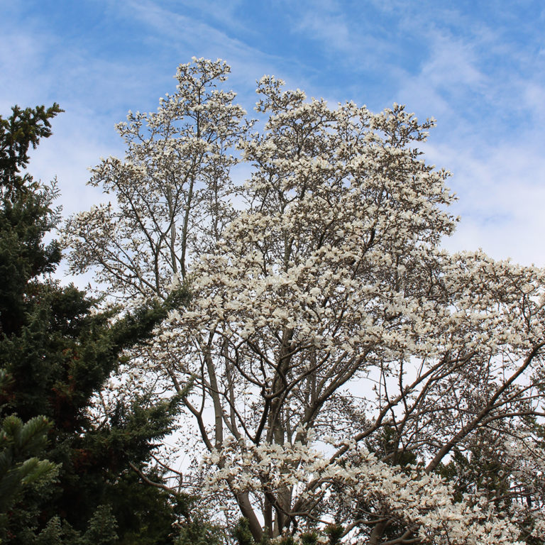 White Star Magnolia Tree In Full Bloom