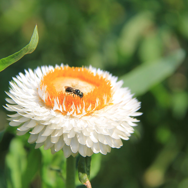 White Strawflower With Ant
