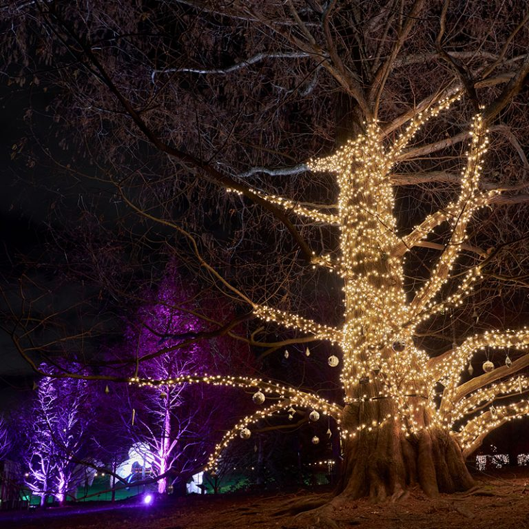 Dawn redwood tree wrapped in lights at Winter Wonders