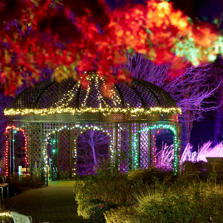 Looking over the rose garden during winter wonders to the gazebo wrapped in lights