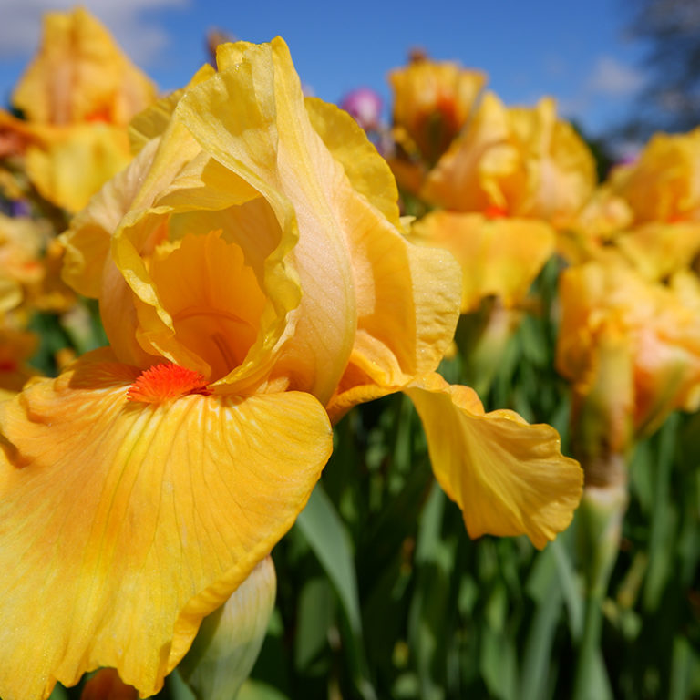 Yellow Dwarf Iris Flowers