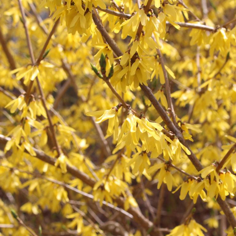 Yellow Forsythia Blooms